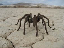 Nevada Expeditions - Desert tarantula on dry lake bed.