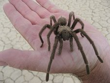 Nevada Expeditions - Friendly tarantula.