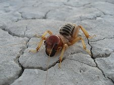 Nevada Expeditions - Alien-like critter on dry lake bed.