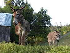 Sutter's Mill Expedition - Curious donkeys in the strewnfield.