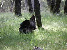 Sutter's Mill Expedition - Wild tom turkey in strewnfield.
