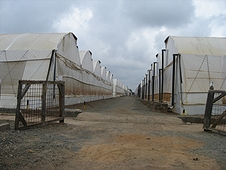Thika, Kenya Expedition - One of the dozens of sets of greenhouses at Kenya Cuttings.