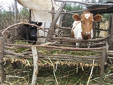 Thika, Kenya Expedition - Cows at one of the many farms in the strewnfield.