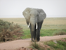 Thika, Kenya Expedition - Big bull elephant letting us know we are too close!