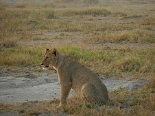 Thika, Kenya Expedition - Lion deciding what its next meal will be.