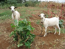 Thika, Kenya Expedition - Goats that likely witnessed the meteorite event.