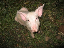 Thika, Kenya Expedition - This pig along with two others were purchased by sale of meteorite to Mike.