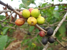 Thika, Kenya Expedition - Coffee beans starting to ripen.