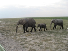 Thika, Kenya Expedition - Baby elephant walking between the protection of larger ones.