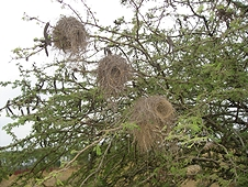 Thika, Kenya Expedition - Bird nests in a tree.