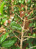 Thika, Kenya Expedition - Coffee tree with unripened beans.