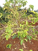 Thika, Kenya Expedition - Another coffee tree.
